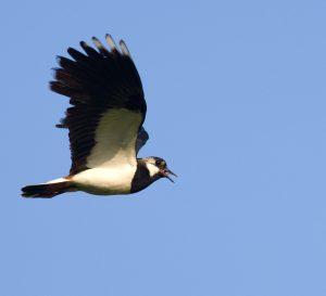 Vizes élőhely felett repülő bíbic